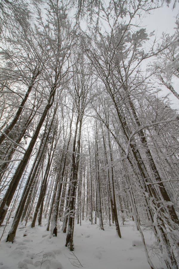 Zima las pod śniegiem zdjęcia stock