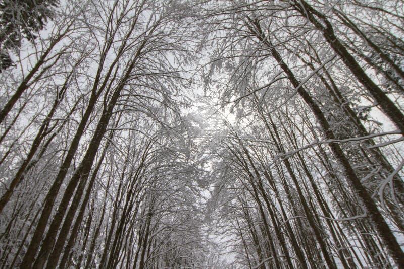 Zima las pod śniegiem obrazy royalty free