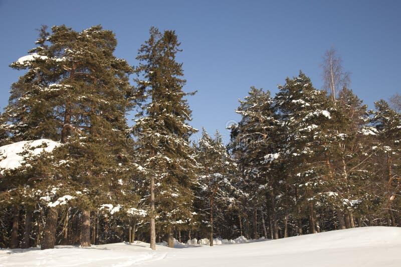 Zima las przy słonecznym dniem blisko do seashore z sosnami i jedliną obrazy royalty free
