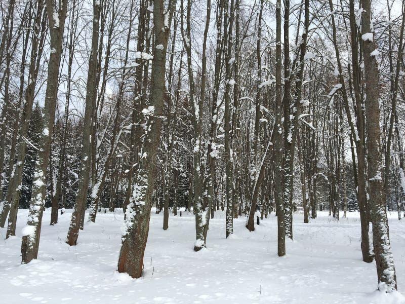 Zima las w St Petersburg zdjęcie stock