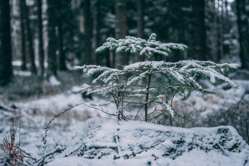 Zima las z drzewami zakrywającymi z śniegiem zdjęcie stock