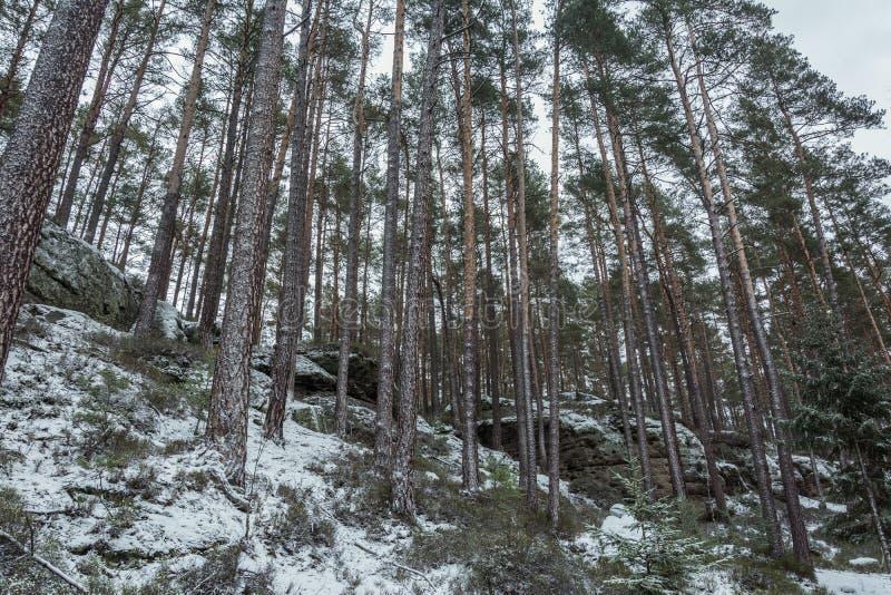 Zima las z drzewami zakrywającymi z śniegiem fotografia stock