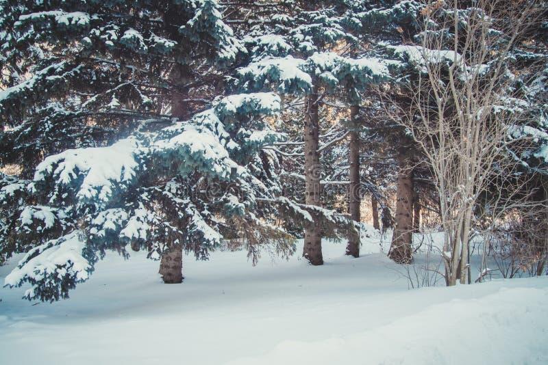 Zima las z wiele drzewami w śniegu obraz stock