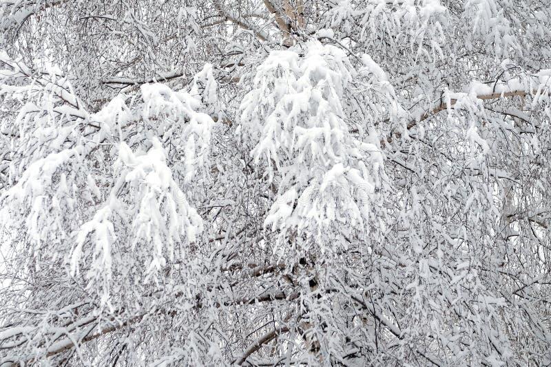 Zima las zakrywający z czystym białym śniegiem z brzozy drzewem z śnieżnymi gałąź na przodzie zdjęcie stock