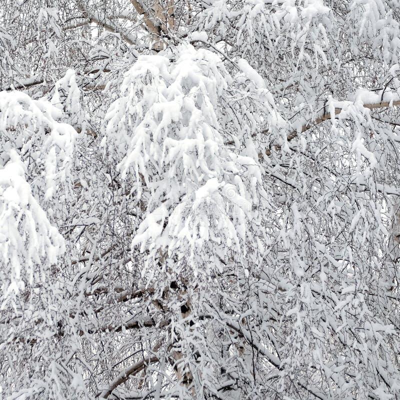 Zima las zakrywający z czystym białym śniegiem z brzozy drzewem z śnieżnymi gałąź na przodzie obrazy royalty free