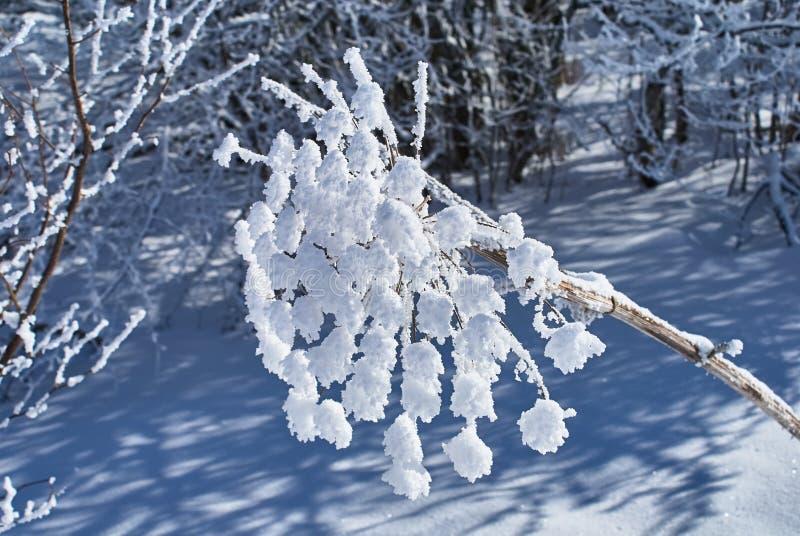 Zima lasowi Śnieżyści wysuszeni kwiaty w przedpolu Lago-Naki Główna Kaukaska grań, Rosja zdjęcie royalty free