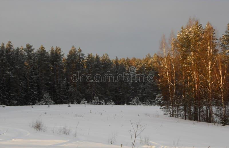 Zima lasu halizna Świerczyny i brzozy las zdjęcie royalty free