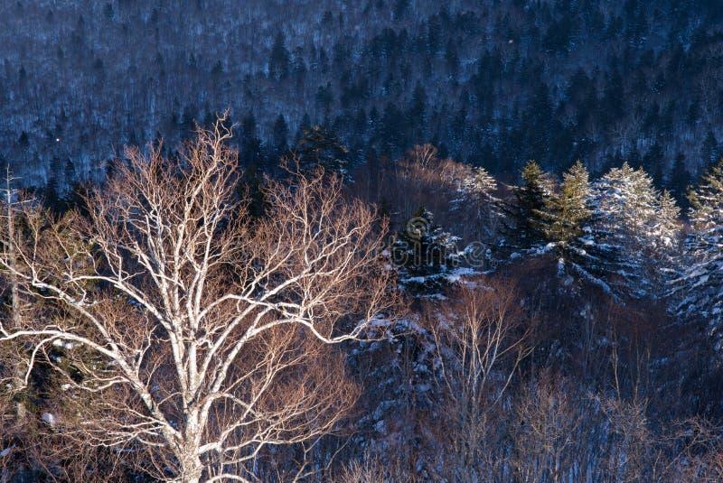Zima lasu krajobrazu widok od góry Kurodake zdjęcie royalty free