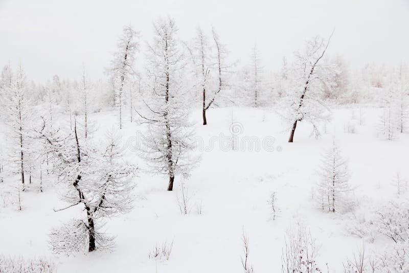 Zima Modrzew obrazy royalty free