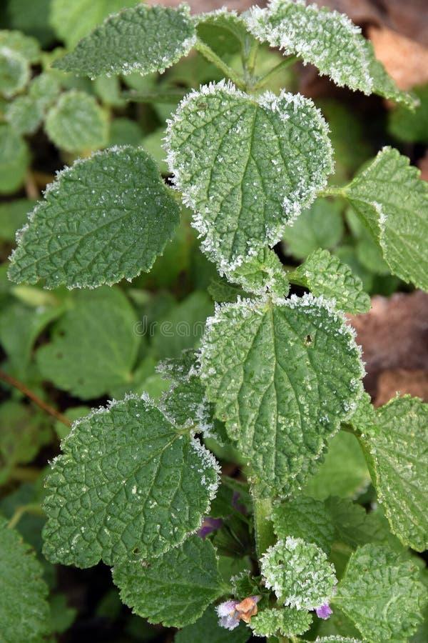 Zima motyw, liście z białymi igłami mróz obrazy royalty free