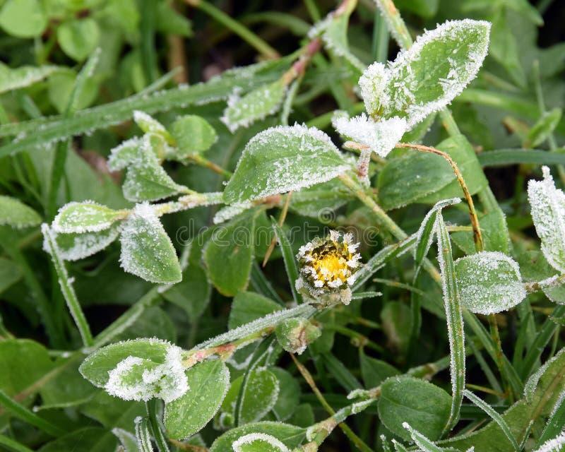 Zima motyw, liście z białymi igłami mróz obraz royalty free
