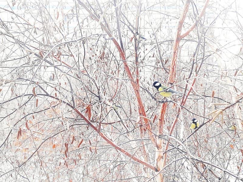 Zima obrazek Titmouse na brzozie Styczeń 33c krajobrazu Rosji zima ural temperatury fotografia stock