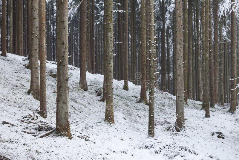Zima sezonu śnieżni iglaści lasowi drzewa fotografia stock