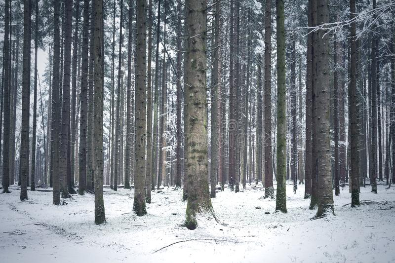 Zima sezonu iglaści lasowi drzewa zdjęcie stock