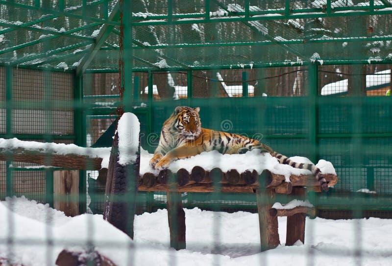 Zima tygrys obrazy royalty free