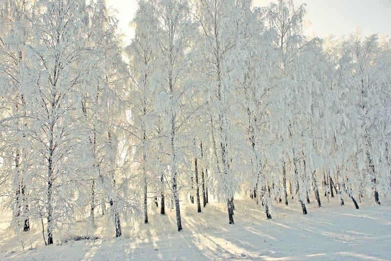 Zima widok z mrozowymi brzozami fotografia royalty free