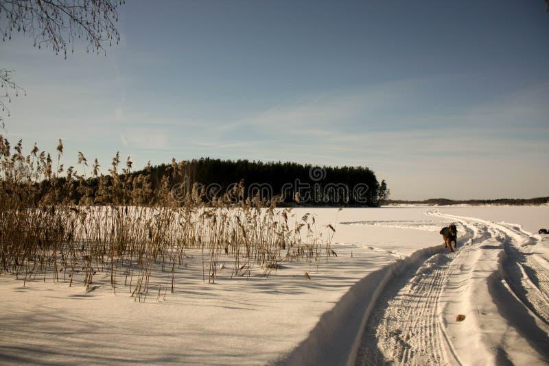 Zima z udziałami śnieg w Rosyjskim lesie zdjęcie stock