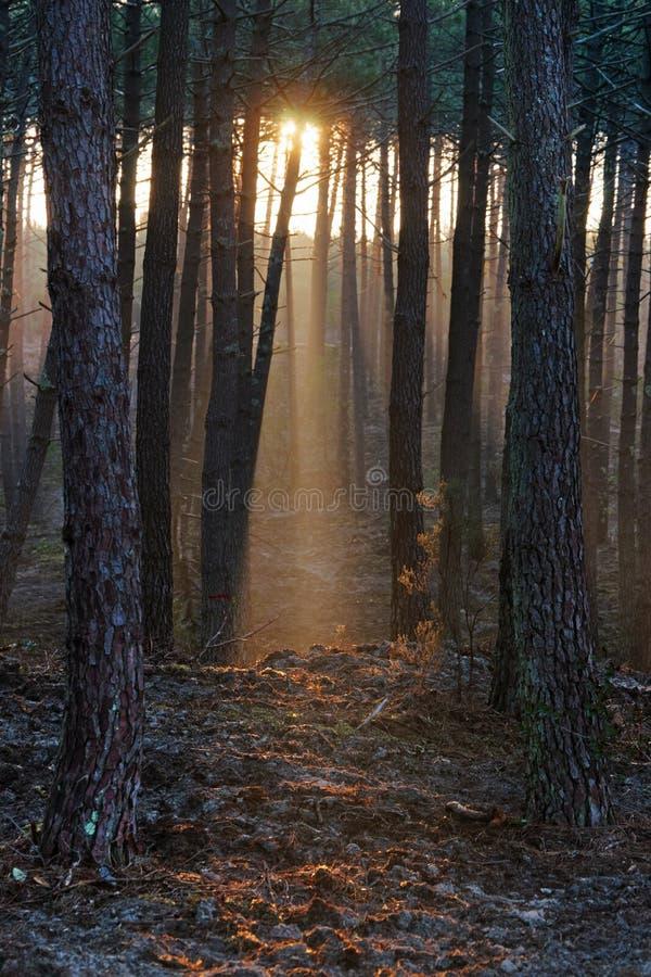Zima zmierzch w Landes lasowych fotografia stock