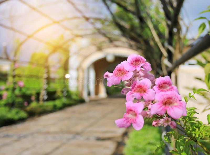 Zimbabwe ranka, röd trumpetvinranka, rosa blommor som blommar i trädgården arkivfoton