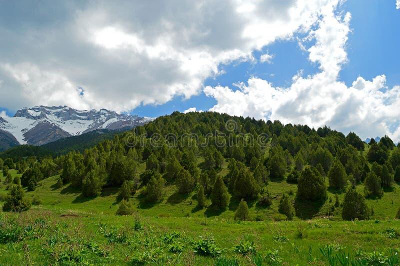 Zimbro nas montanhas, Quirguizistão fotografia de stock royalty free