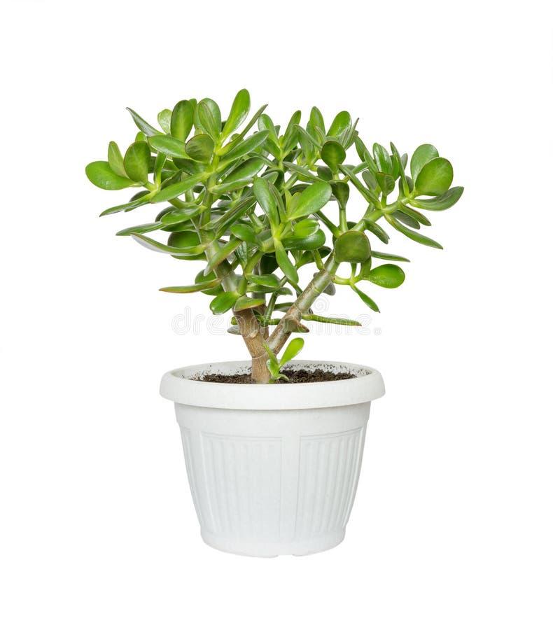 Zimmerpflanze Crassula lizenzfreies stockfoto