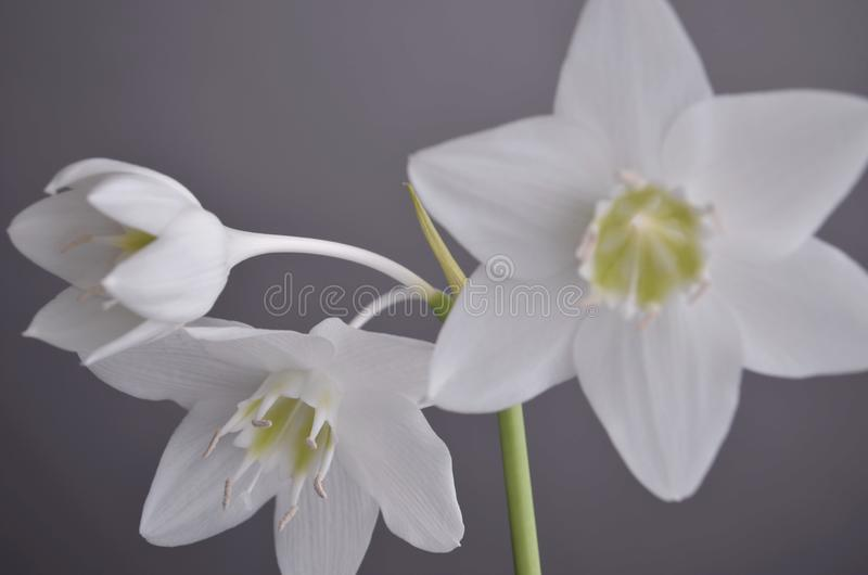 Zimmerpflanzen: eucharis - Amazonas-Lilie stockfotografie