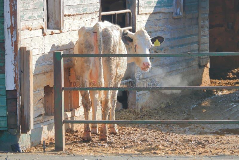 Zimna Smutna krowa z Łzawymi ocechowaniami zdjęcia royalty free