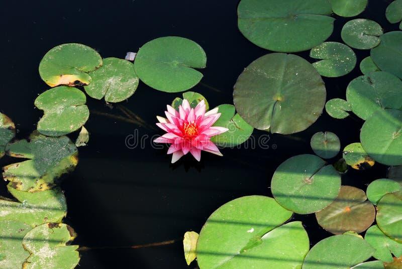 Zimnotrwały lelui Nymphaea «menchia faborek «na staw wodzie fotografia royalty free