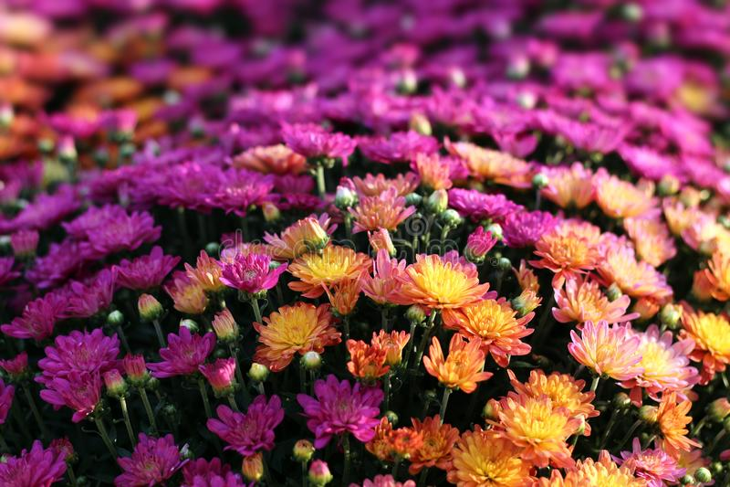 Zimnotrwały mum kwiat fotografia stock