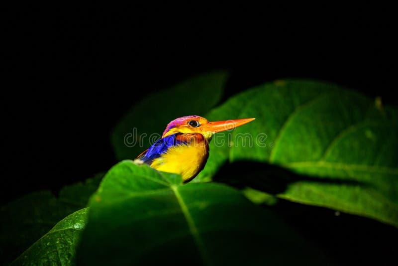 Zimorodek przy noc? w tropikalnym lesie deszczowym Borneo, Malaysia fotografia stock