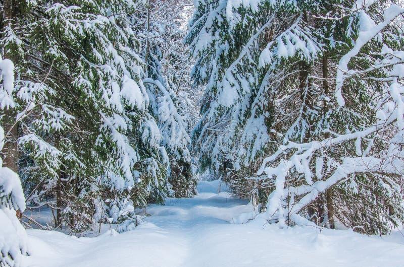 Zimowe sosny i jogi pokryte śniegiem zdjęcia stock