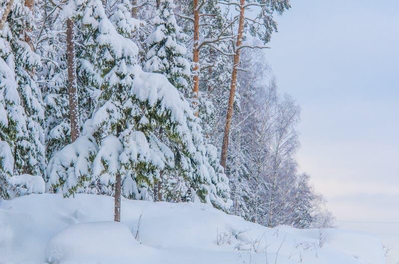 Zimowe sosny i jogi pokryte śniegiem zdjęcie royalty free