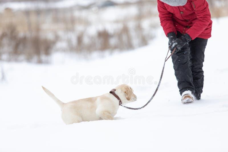 Zimowe spacery z wizerunkiem koncepcji zwierząt domowych Aktywny pies labrador biegający głęboko w śniegu obraz royalty free