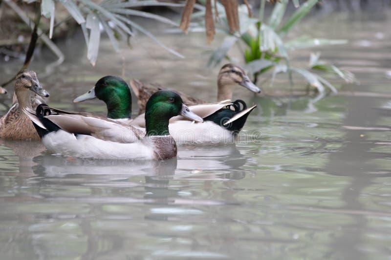 Zimt Teal Stand auf Stein und Schwimmen im Wasser lizenzfreies stockfoto