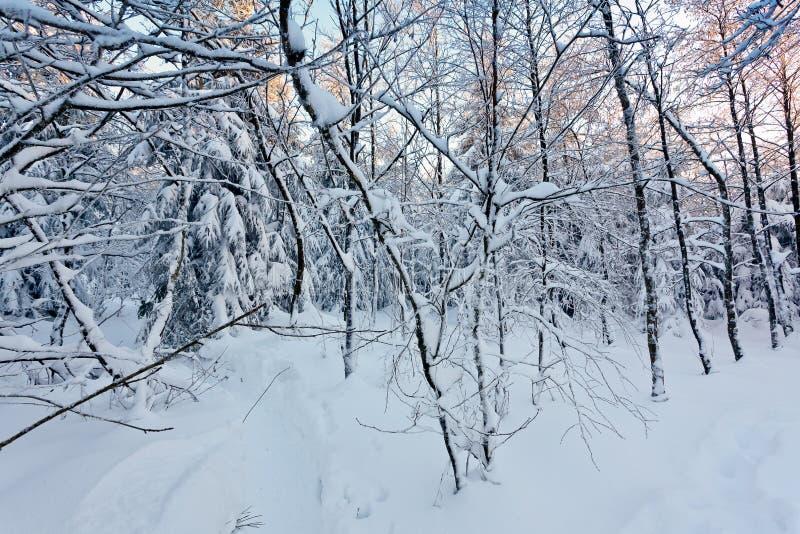 Zimy śnieżna młoda europejska biała brzoza, Wysocy Fens, Belgia obrazy royalty free