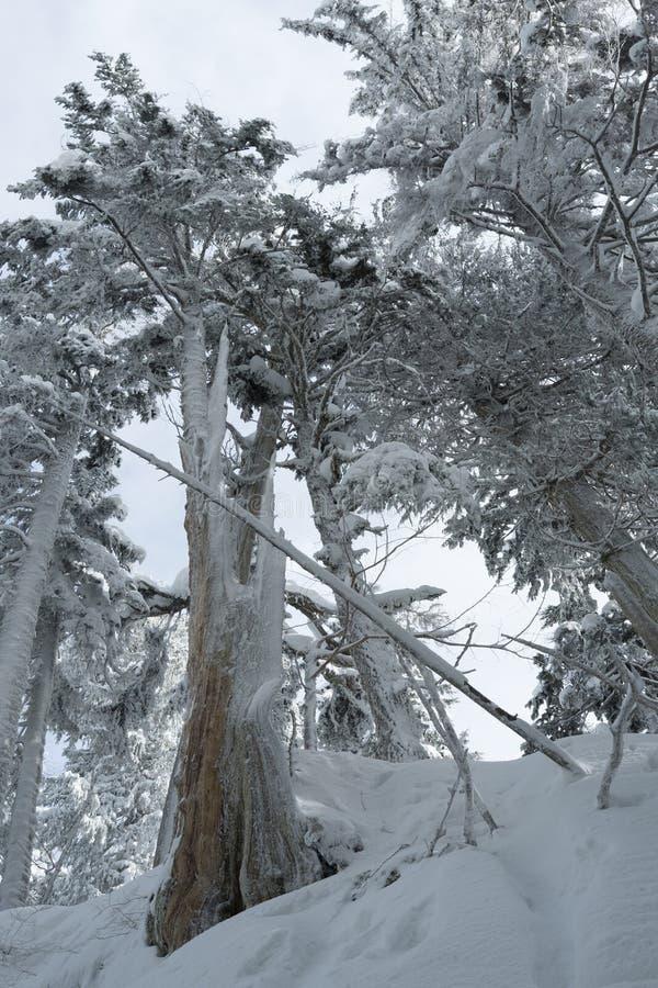 Zimy śnieżna scena z śniegiem zakrywał drzewa na górze Seymour fotografia royalty free