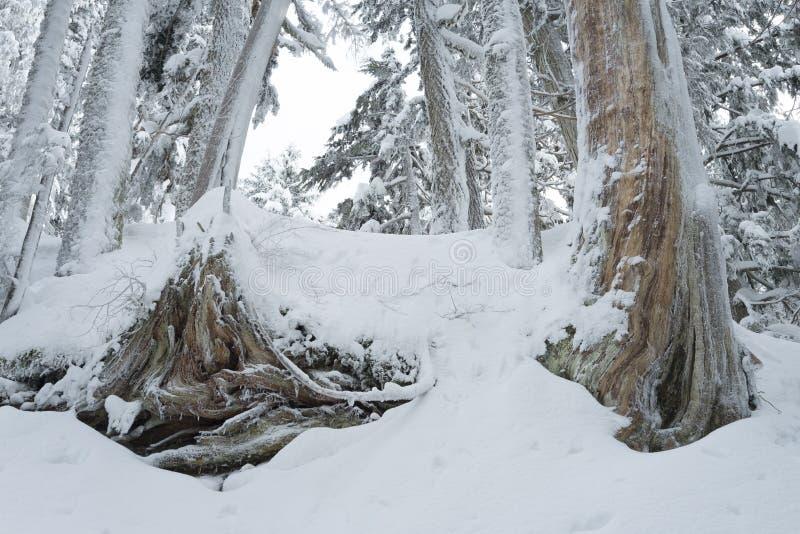 Zimy śnieżna scena z śniegiem zakrywał drzewa na górze Seymour zdjęcia stock