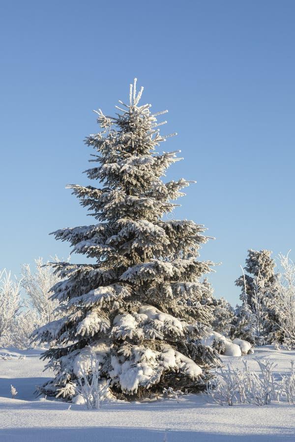 Zimy świerczyny drzewo zdjęcie stock