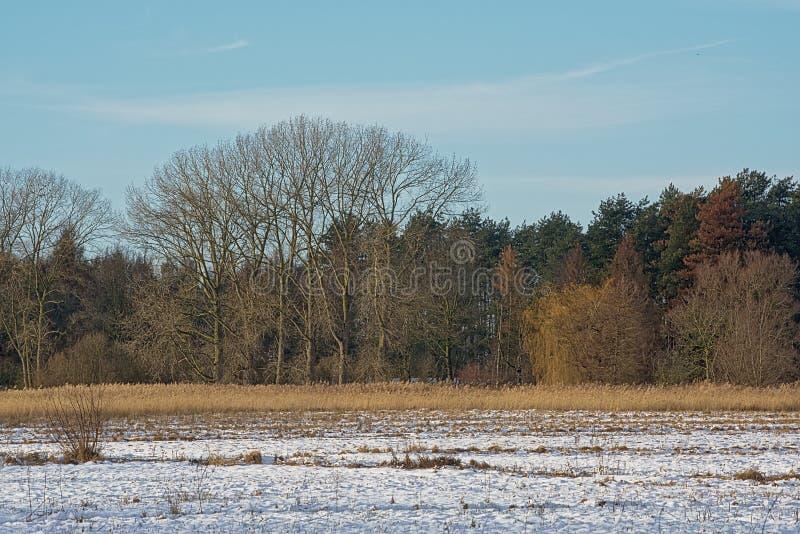 Zimy bagna krajobraz zakrywający w śniegu z nagi wiecznozieloni drzewa na zimnym zima dniu zdjęcie royalty free