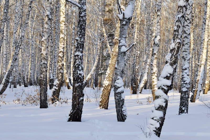 Zimy brzozy las zdjęcie royalty free