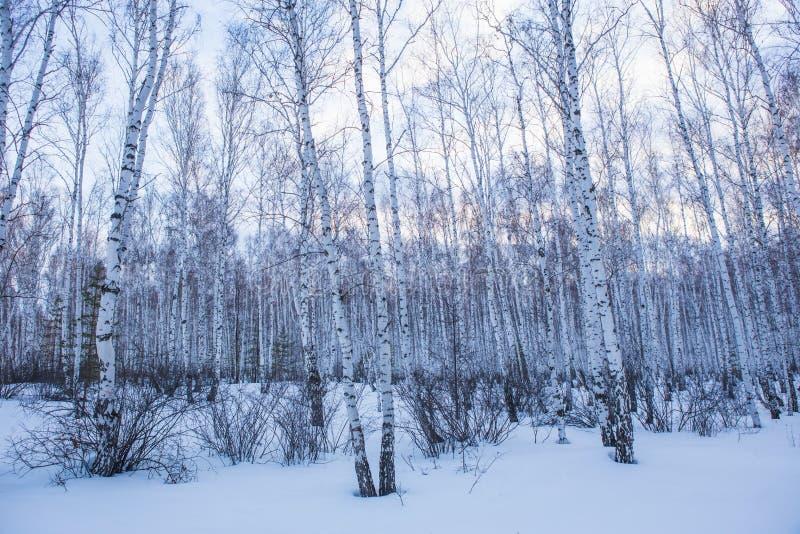 Zimy brzozy las fotografia royalty free