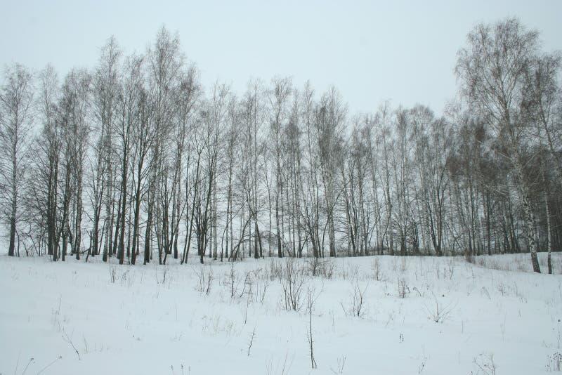 Zimy brzozy młody gaj obrazy stock