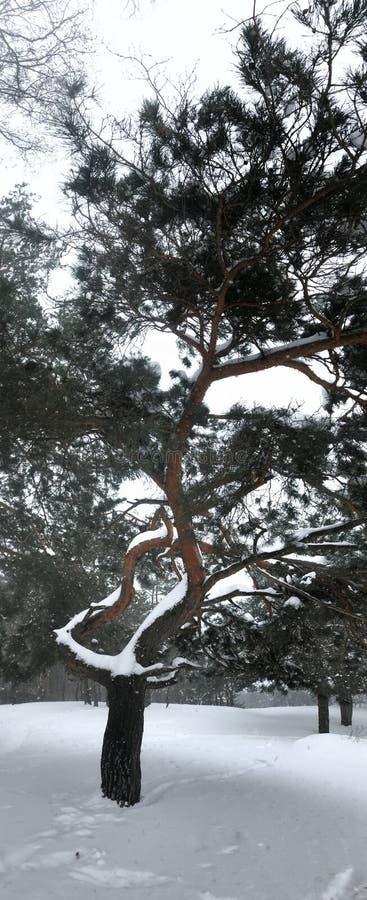 Zimy drzewo zakrywający w śniegu w Irpin, Irpen blisko lub - obrazy stock