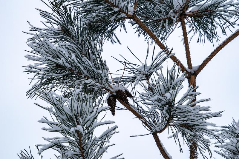 Zimy gałązka zakrywająca z białym świeżym śniegiem na zimnym dniu iglasty drzewo fotografia royalty free