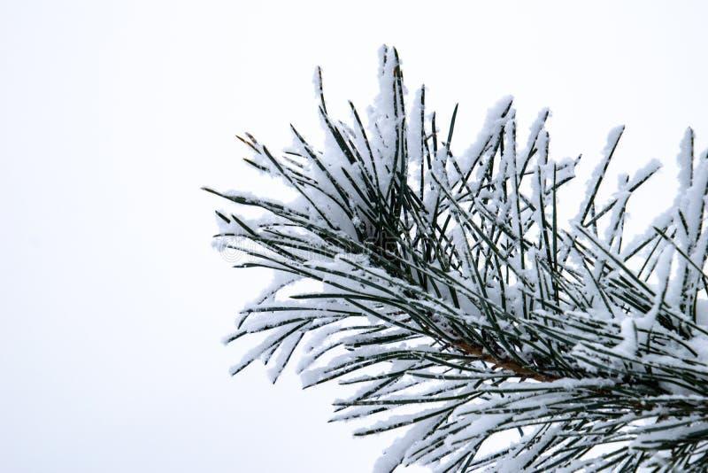 Zimy gałązka zakrywająca z białym świeżym śniegiem na zimnym dniu iglasty drzewo zdjęcia royalty free