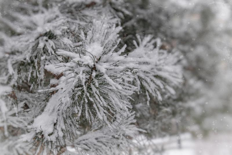 Zimy gałązka zakrywająca z białym świeżym śniegiem na zimnym dniu iglasty drzewo zdjęcie stock