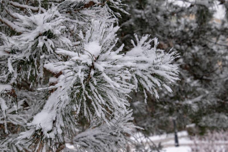 Zimy gałązka zakrywająca z białym świeżym śniegiem na zimnym dniu iglasty drzewo zdjęcia stock