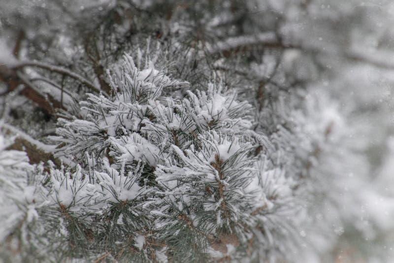 Zimy gałązka zakrywająca z białym świeżym śniegiem na zimnym dniu iglasty drzewo zdjęcie royalty free