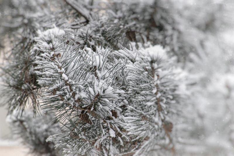 Zimy gałązka zakrywająca z białym świeżym śniegiem na zimnym dniu iglasty drzewo obrazy royalty free