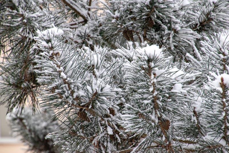 Zimy gałązka zakrywająca z białym świeżym śniegiem na zimnym dniu iglasty drzewo fotografia stock